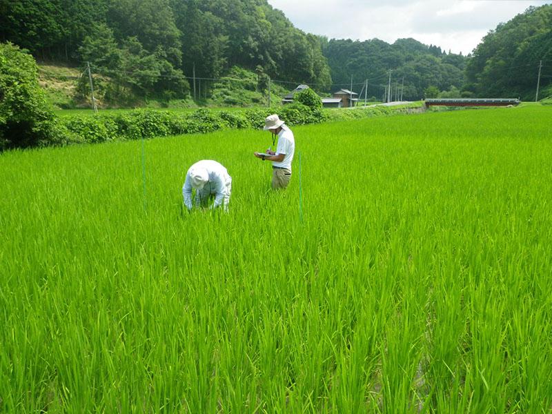肥料試験 生育調査の様子