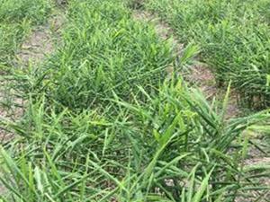 ショウガでの肥料試験 試験区